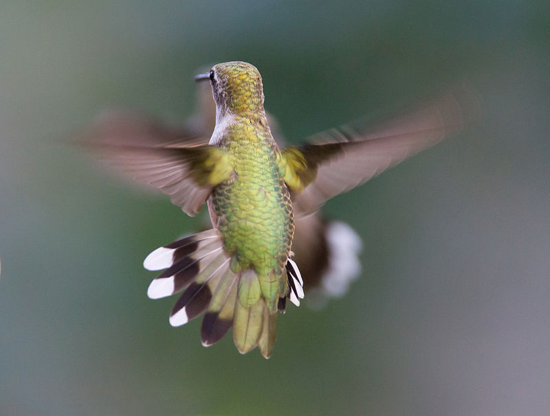 800px-Hummingbird_Aerodynamics_of_flight