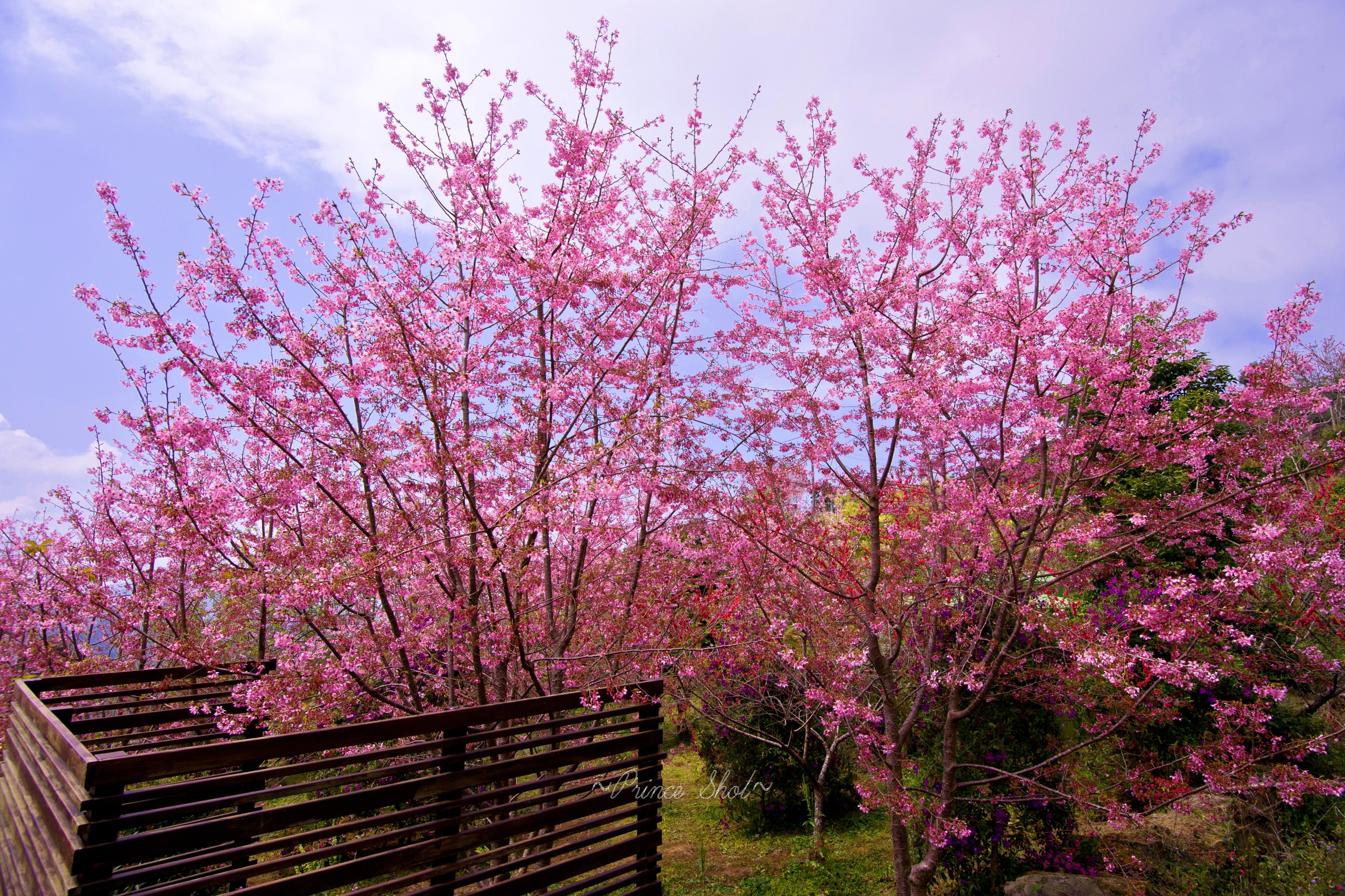 櫻花在臺灣嘉義阿里山_Cherry_blossom_-_Sakura_in_Alishan,_Chiayi,_TAIWAN